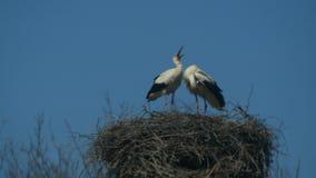 Deux cigognes dans le nid avec le ciel bleu banque de vidéos