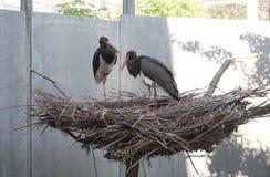 Deux cigognes noires dans un grand nid Image libre de droits