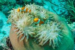 Deux clownfish faux, grande anémone Photos libres de droits