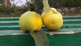 Deux coings savoureux jaunes sur un banc vert photo stock