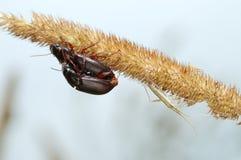 Deux coléoptères au sol et l'anomalie. photographie stock libre de droits