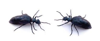 Deux coléoptères bleus Image stock