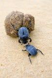 Deux coléoptères de fumier luttant avec une grande bille de fumier Photo stock