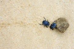 Deux coléoptères de fumier luttant avec une grande bille de fumier Images stock
