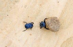 Deux coléoptères de fumier luttant avec une grande bille de fumier Photos libres de droits