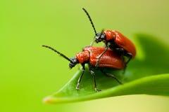 Deux coléoptères de lis sur la lame Image stock