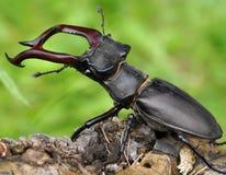 Deux coléoptères de mâle Images libres de droits