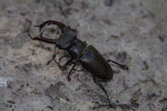 Deux coléoptères de mâle Image stock