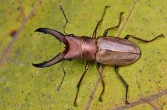 Deux coléoptères de mâle Image libre de droits