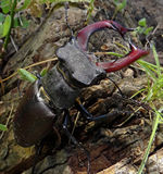 Deux coléoptères de mâle Photographie stock