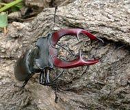 Deux coléoptères de mâle Photographie stock libre de droits