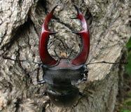 Deux coléoptères de mâle Photo stock