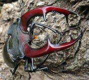 Deux coléoptères de mâle Photo libre de droits