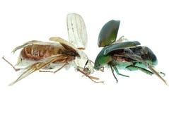 Deux coléoptères de scarabée Photo stock