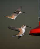 Deux colibris Photo libre de droits