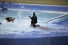 Deux colleys de frontière jouant avec des éclaboussures dans la piscine Images stock
