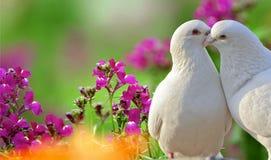Deux colombes blanches aimantes Photos libres de droits