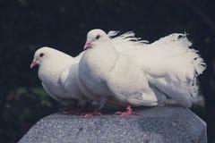 Deux colombes blanches comme neige photo libre de droits