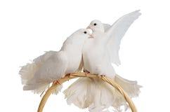 Deux colombes blanches embrassant et étreignant Photographie stock libre de droits