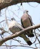Deux colombes dans l'amour sur l'arbre en nature Image libre de droits