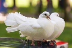 Deux colombes de paix et d'amour Photos libres de droits