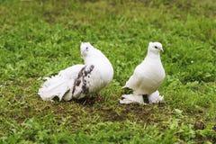 Deux colombes de paix et d'amour Photo stock