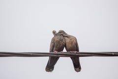 Deux colombes sombres de tortue dans l'amour Image stock