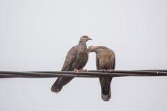 Deux colombes sombres de tortue dans l'amour Image libre de droits