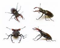 Deux coléoptères de mâle Images stock