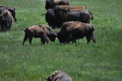 2 deux combats de buffle de bison américain Image libre de droits