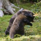 Deux combats de jeu de petits animaux d'ours brun Photos libres de droits