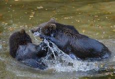 Deux combats de jeu de petits animaux d'ours brun Photographie stock libre de droits