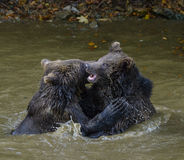 Deux combats de jeu de petits animaux d'ours brun Photo stock
