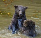 Deux combats de jeu de petits animaux d'ours brun Images libres de droits