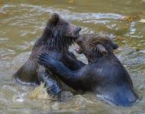 Deux combats de jeu de petits animaux d'ours brun Photographie stock