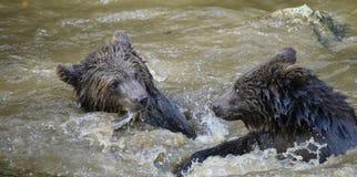 Deux combats de jeu de petits animaux d'ours brun Images stock