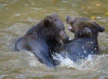 Deux combats de jeu de petits animaux d'ours brun Photo libre de droits