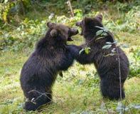 Deux combats de jeu de petits animaux d'ours brun Image stock
