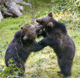 Deux combats de jeu de petits animaux d'ours brun Photos stock