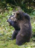 Deux combats de jeu de petits animaux d'ours brun Image libre de droits