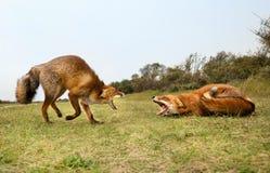Deux combats de renard rouge photo libre de droits