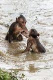Deux combats de singe Images stock