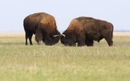 Deux combats sauvages de buffles Photographie stock libre de droits