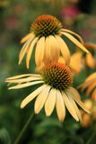 Deux coneflowers jaunes Photo stock