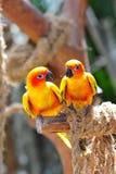Deux conures oranges lumineux du soleil Image stock