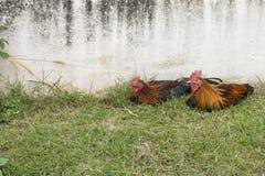 Deux coqs nains, poulets colorés image libre de droits