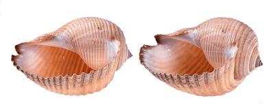 Deux coquillages dans différents angles d'isolement sur le blanc photos libres de droits