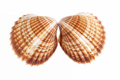 Deux coquilles de mer d'isolement sur le fond blanc Photos stock