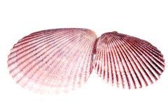 Deux coquilles de mer de mollusque d'isolement sur le fond blanc Photographie stock libre de droits