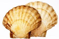 Deux coquilles de mer de mollusque d'isolement sur le fond blanc Photos stock